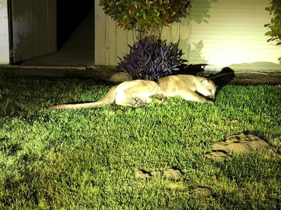 A mountain lion lies on grass in a Tulare neighborhood in April 2019. (Credit: Tulare Police Department)