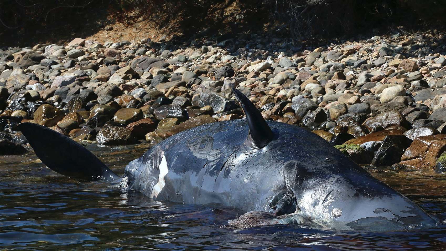 The sperm whale that was found washed up on the Italian island of Sardinia. (Credit: SeaMe Sardinia)