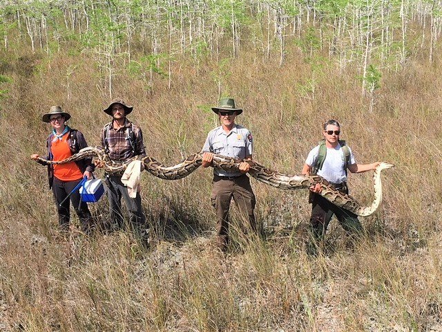 The Burmese python is one of the largest snakes in the world. But even by python standards, this one was colossal. (Credit: Big Cypress National Preserve)