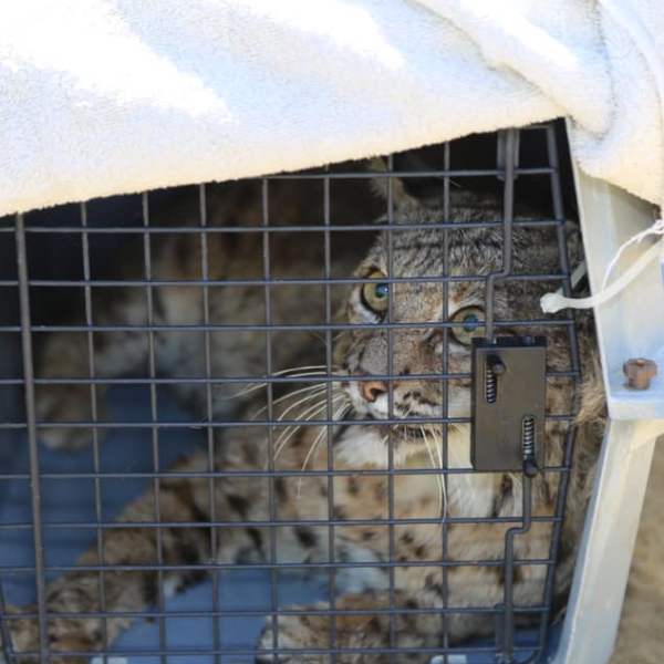 The bobcat appears in a photo provided by the Laguna Beach Police Department on April 13, 2019.