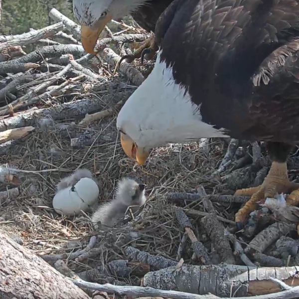 A pair of bald eagles look on as an egg hatches near Big Bear Lake on April 15, 2019. (Credit: Friends of the Big Bear Valley)