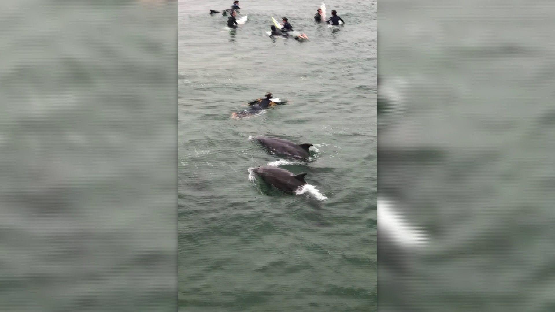 Dolphins played amid surfer at Manhattan Beach on May 30, 2019. (Credit: Robin Fenlon)