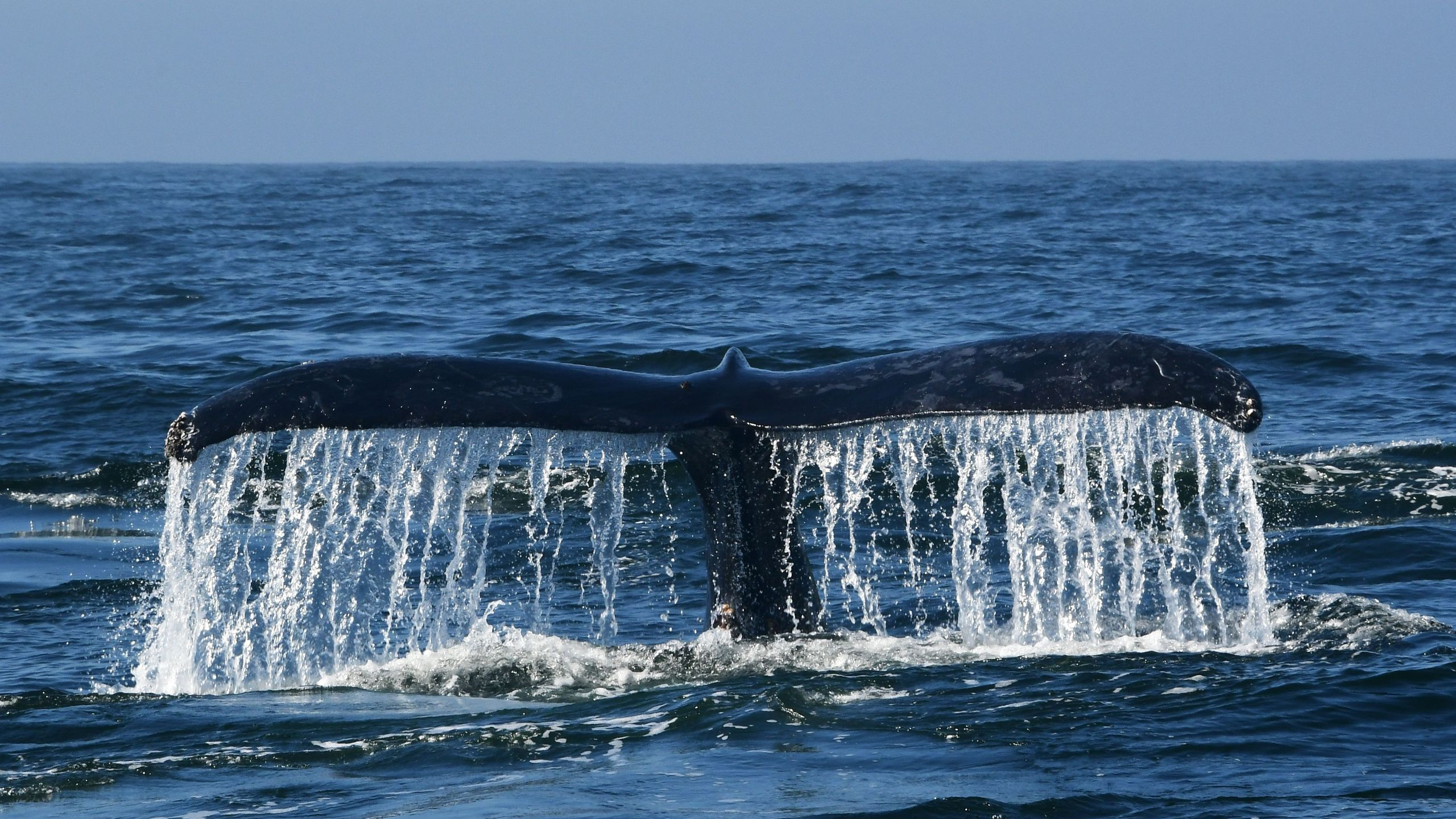 A humpback whale navigates the waters of Monterey Bay, Calif., on Sept. 21, 2018. (Credit: EVA HAMBACH/AFP/Getty Images)