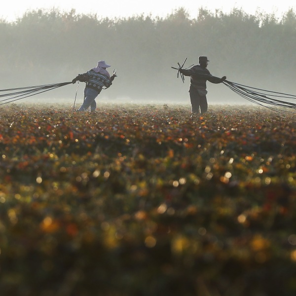 Farmworkers haul out water hoses on a field outside Turlock on Oct. 27, 2018. (Credit: Mario Tama / Getty Images)