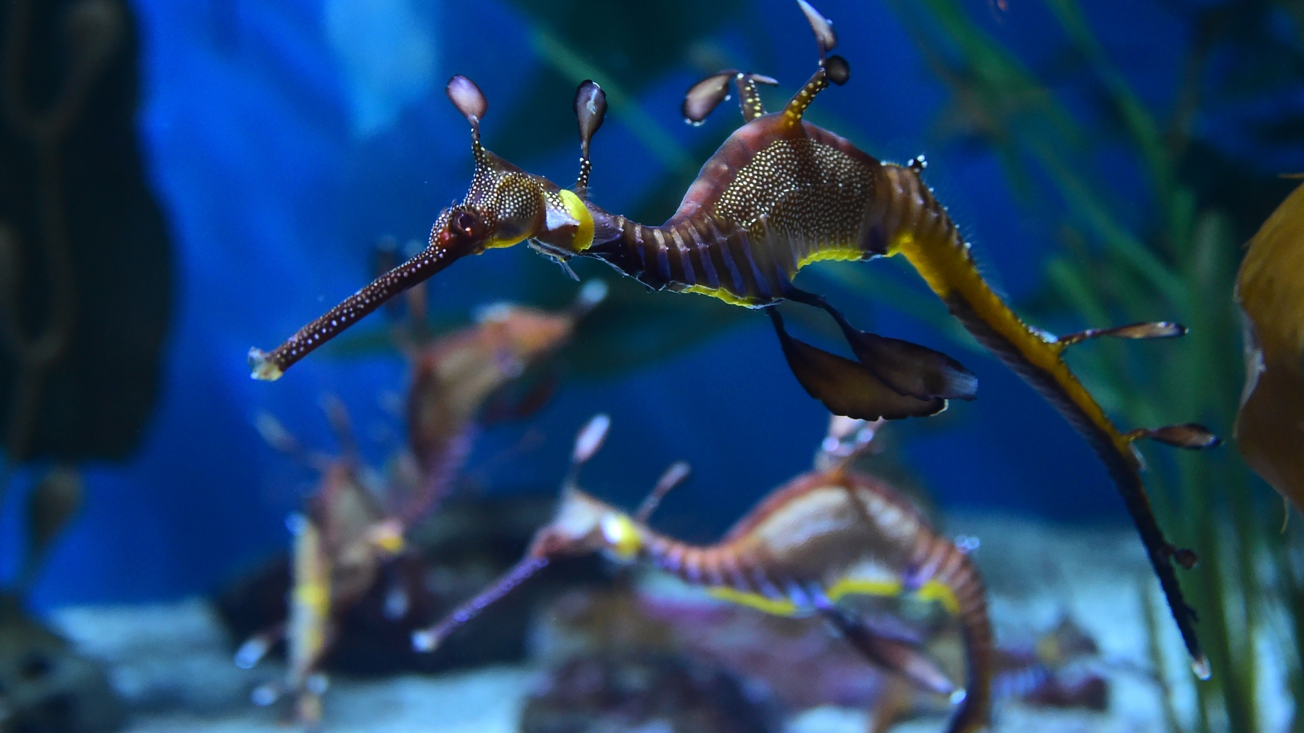 A weedy seadragon is seen at the Aquarium of the Pacific in Long Beach, California on May 26, 2016. (Credit: FREDERIC J. BROWN/AFP/Getty Images)