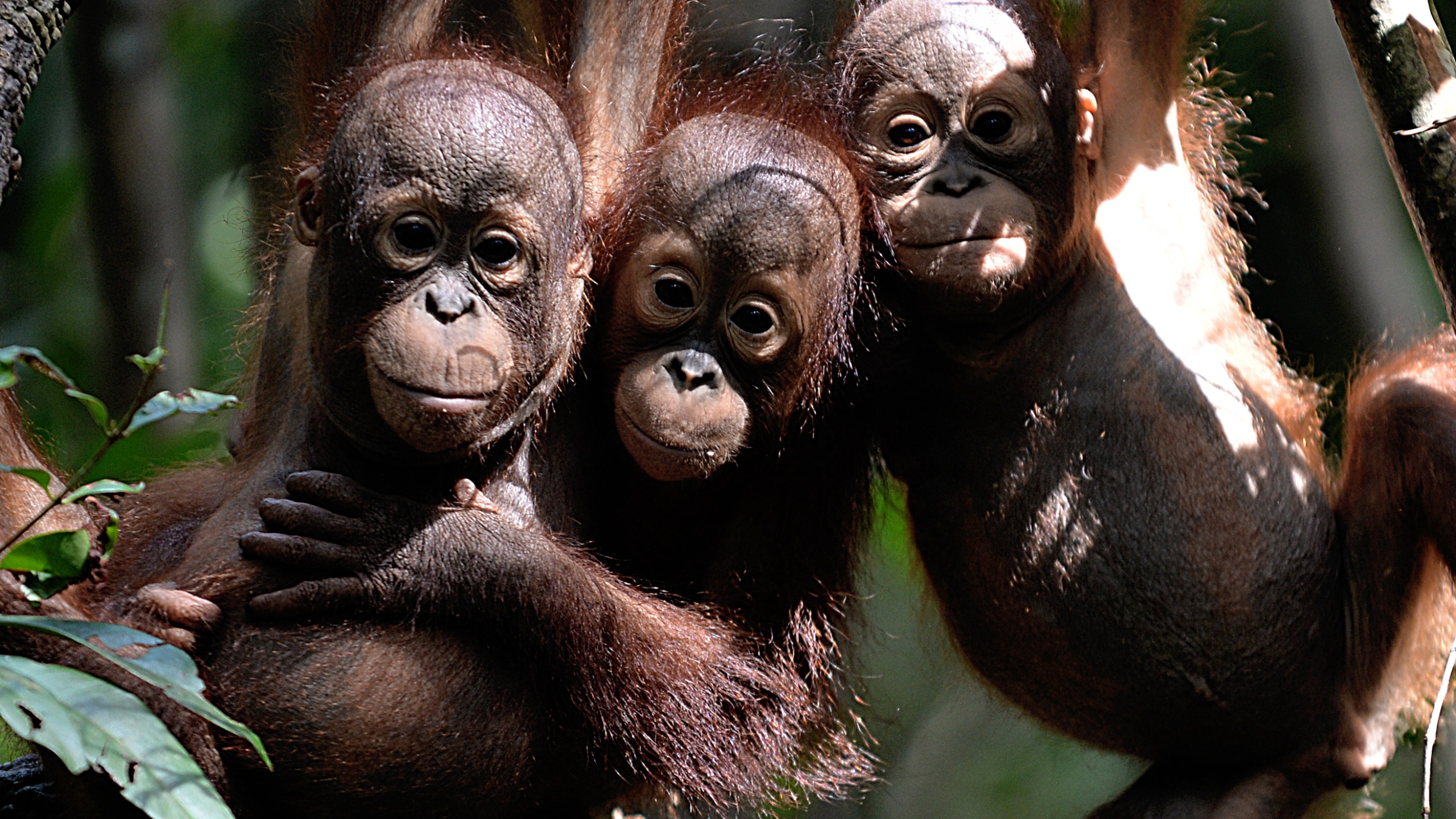 """This picture taken on August 4, 2016 shows three orphaned orangutan babies hanging in a tree while attending """"jungle school"""" at the International Animal Rescue Centre outside the city of Ketapang in West Kalimantan, Indonesia. (Credit: BAY ISMOYO/AFP/Getty Images)"""