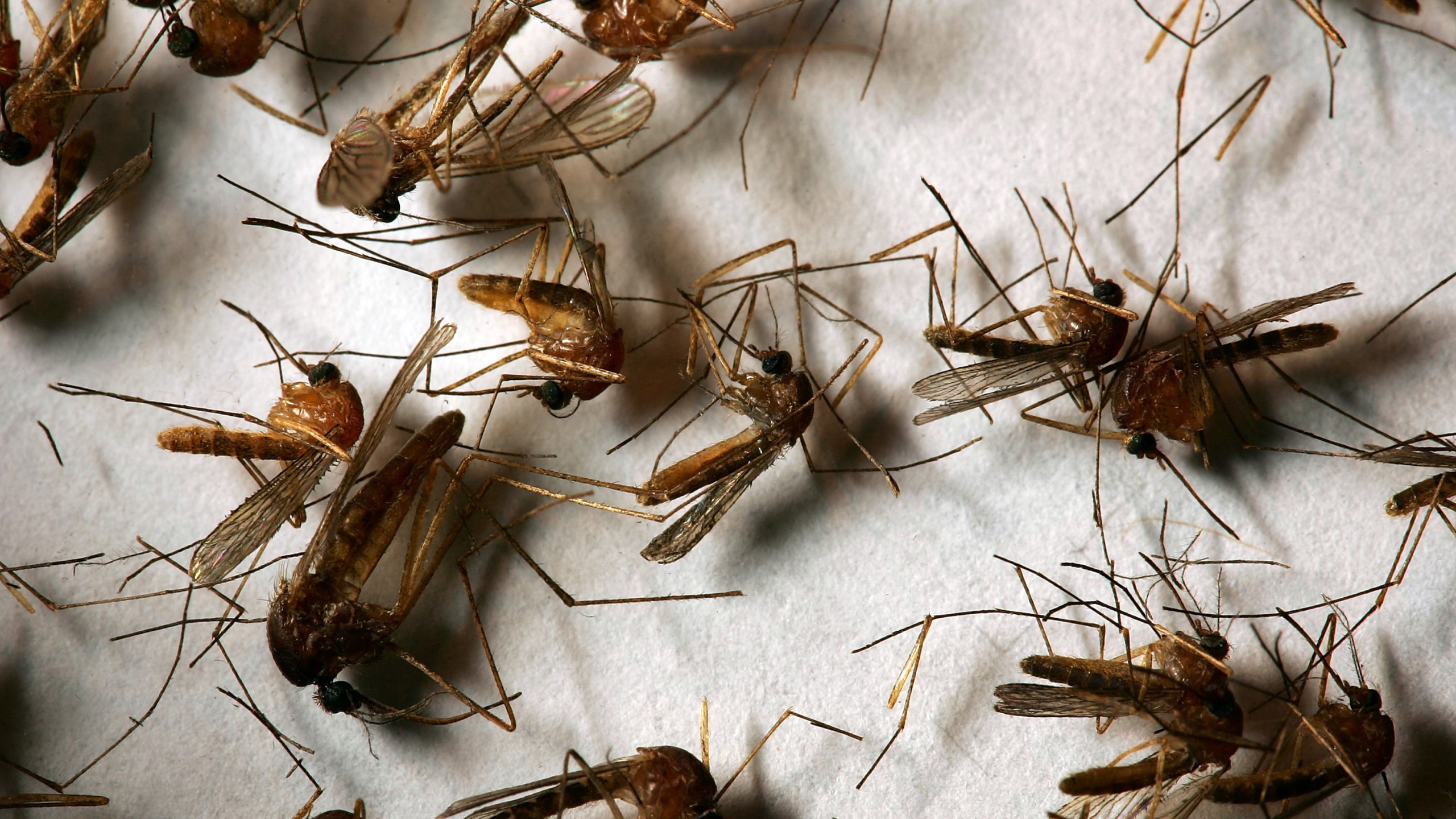 A field sample of mosquitoes that could carry West Nile Virus is seen at offices of the Riverside County Department of Environmental Health on April 26, 2007, in Hemet. (Credit: David McNew/Getty Images)