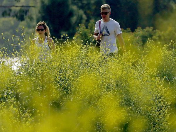 Invasive mustard grass grows along the hiking trails in Griffith Park in this undated photo. (Credit: Luis Sinco / Los Angeles Times)