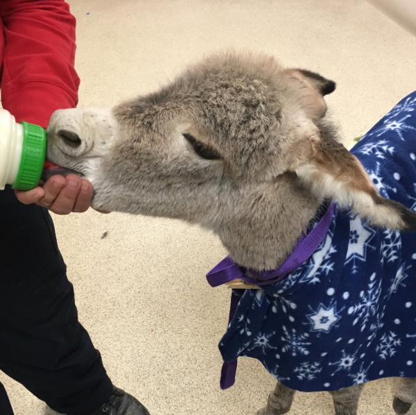 A baby burro found alone and injured in Riverside County is seen in a photo provided by the Riverside County Department of Animal Services on May 2, 2019.
