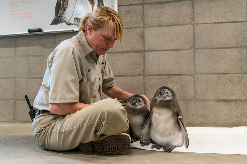 The newborn baby penguins are seen in an undated photo provided by the San Diego Zoo on May 9, 2019.