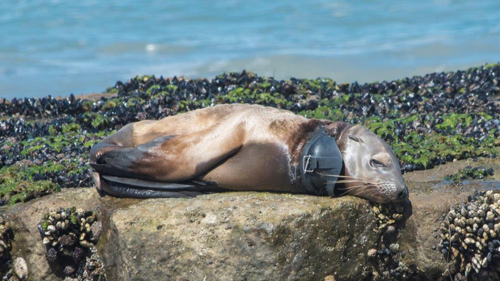 A sea lion pup was found at a San Diego County beach with a swim mask wrapped around his neck. (Credit: SeaWorld San Diego)
