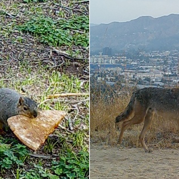 A squirrel carrying a piece of pizza, left, and a coyote are seen in undated photos uploaded to the Wildlife of Los Angeles Project.