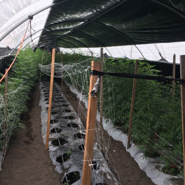 Santa Barbara County sheriff's deputies seized about 20 tons of illegal cannabis from a cultivation site near Buellton. (Credit: Santa Barbara County Sheriff's Department)