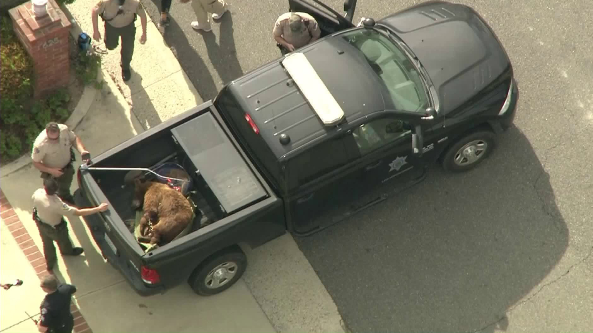 A mama bear and her cub are placed in the bed of a pickup truck after being tranquilized following a confrontation with a man in Sierra Madre on June 10, 2019. (Credit: KTLA)