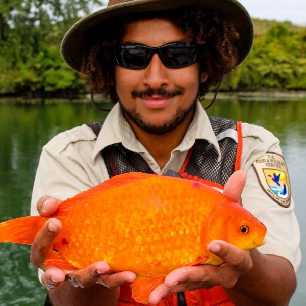 A man holds a 14-inch goldfish found in the Niagara River in a photo posted to Facebook by the group Buffalo Niagara Waterkeeper on June 14, 2019.