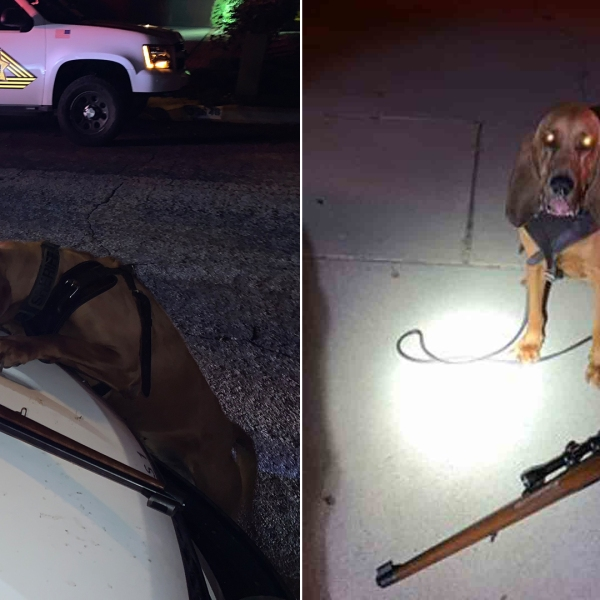 Yucaipa police released these photos of K-9 Dare after the bloodhound helped track down a suspect on June 26, 2019.