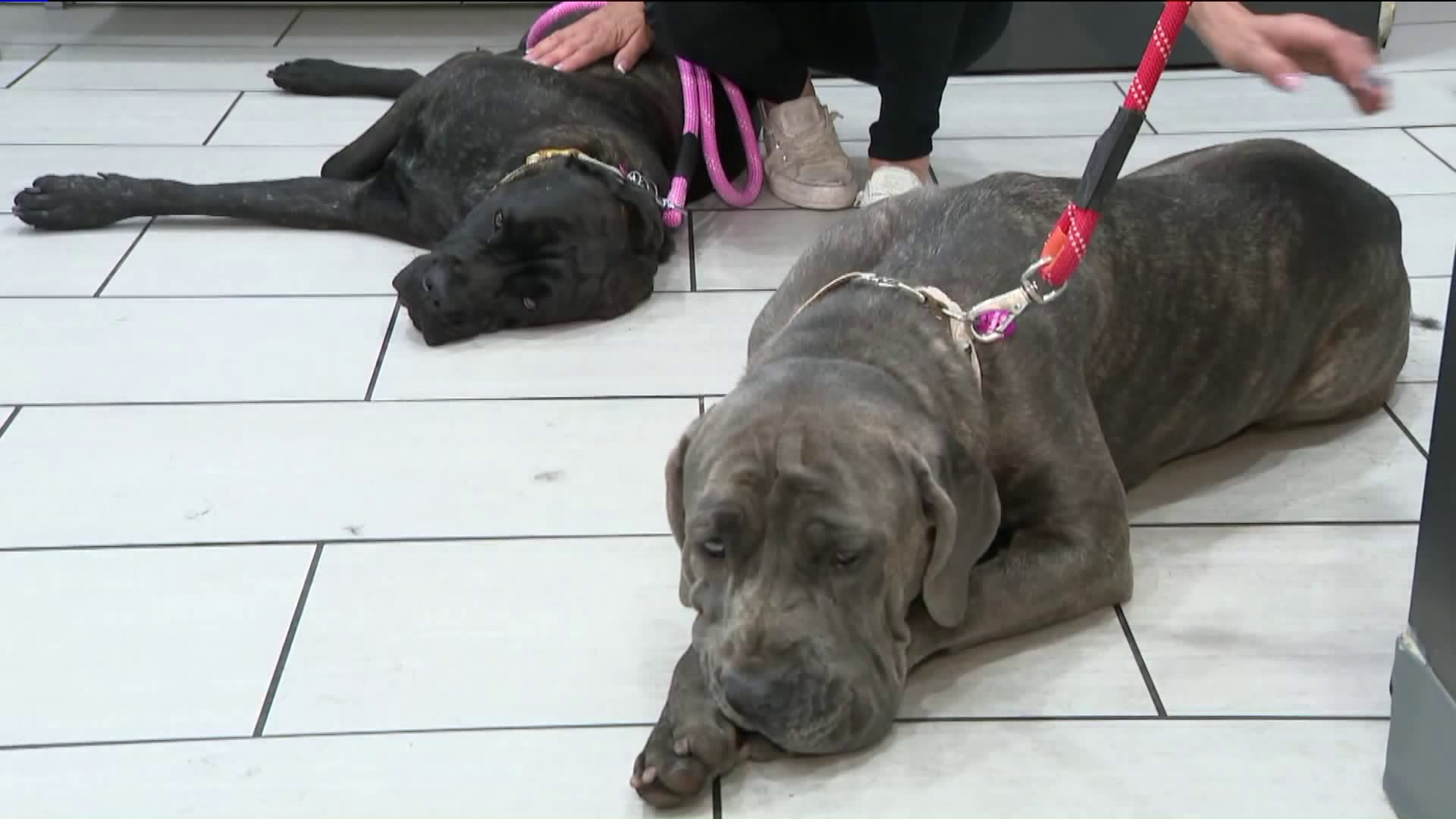 Onyx and Starlett were available for adoption on June 13, 2019, a month after they gained notoriety when they were seen inside a stolen SUV that led police on a wild chase through the San Fernando Valley on May 21, 2019. (Credit: KTLA)