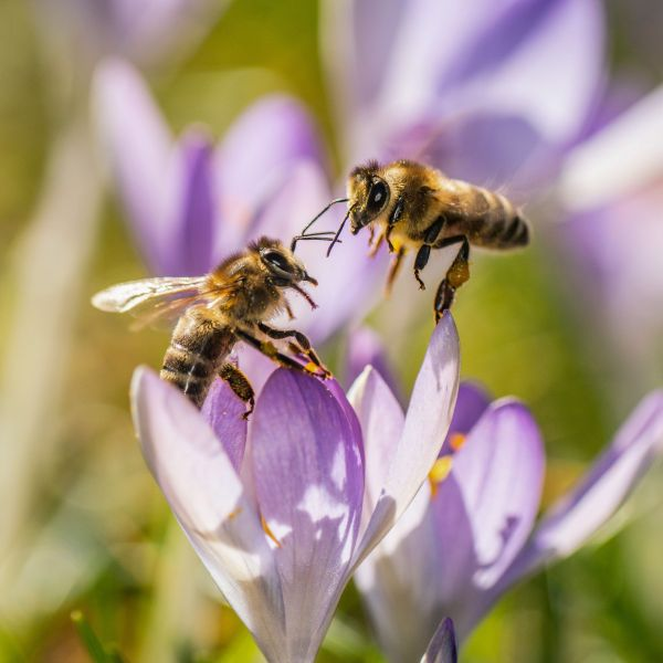 Two bees rest on a crocus on Feb. 18, 2019 in western Germany. (Credit: Frank Rumpenhorst/AFP/Getty Images)