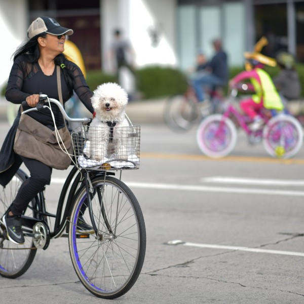 A woman rides her bicycle with a dog in the basket during a CicLAvia event in Culver City on March 3, 2019. (Credit: CHRIS DELMAS/AFP/Getty Images)
