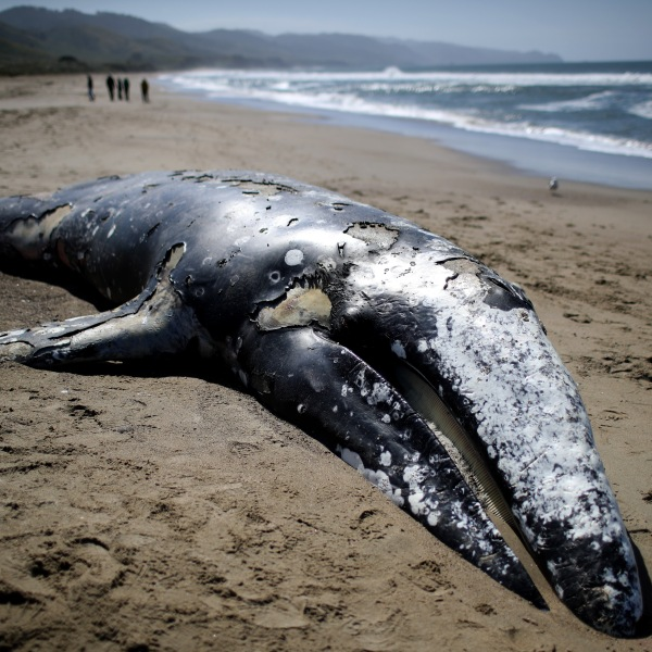 A dead juvenile Gray Whale sits in the sand on Limantour Beach at Point Reyes National Seashore on May 25, 2019 in Point Reyes Station, California. (Credit: Justin Sullivan/Getty Images)