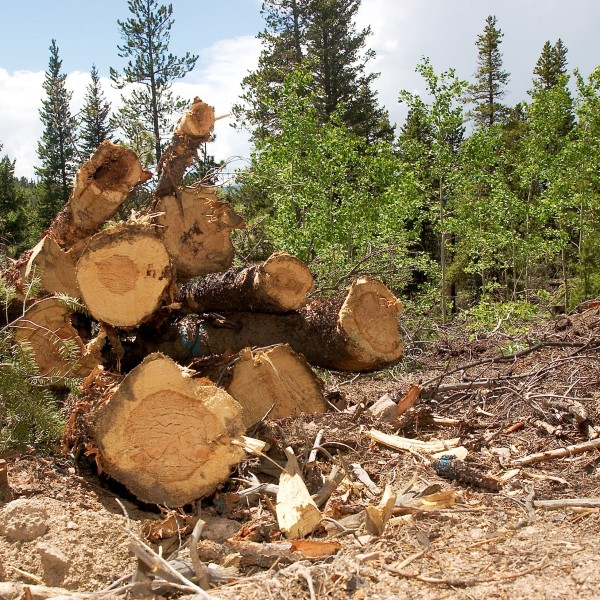 Felled trees await removal June 11, 2003 in a patch of forest three miles outside of Nederland, Colorado. (Credit: Kevin Moloney/Getty Images)