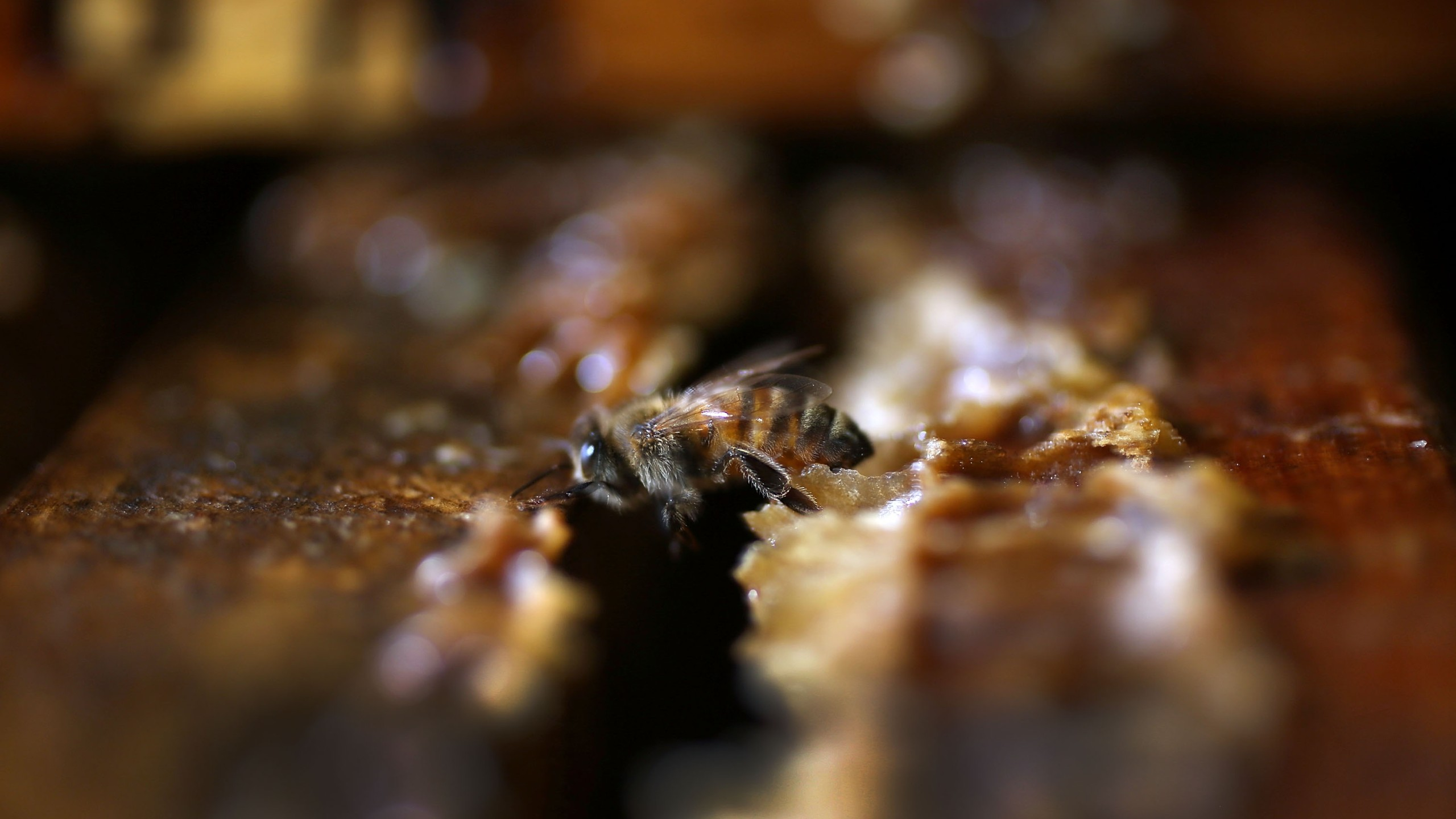 A honeybee is seen at the J & P Apiary and Gentzel's Bees, a honey and pollination company in Homestead, Florida, on May 19, 2015. (Credit: Joe Raedle / Getty Images)