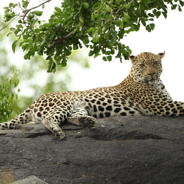 A leopard is pictured on a rock in the Kruger National Park in South Africa. (Credit: Warren Little/Getty Images)
