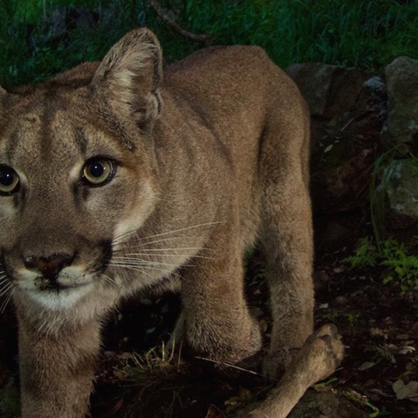 The National Park Service released the photo of P-33, the first known mountain lion to cross the 101 Freeway northward into the Simi Hills in March 2015. Her remains were found three years later in the Los Padres National Forest.