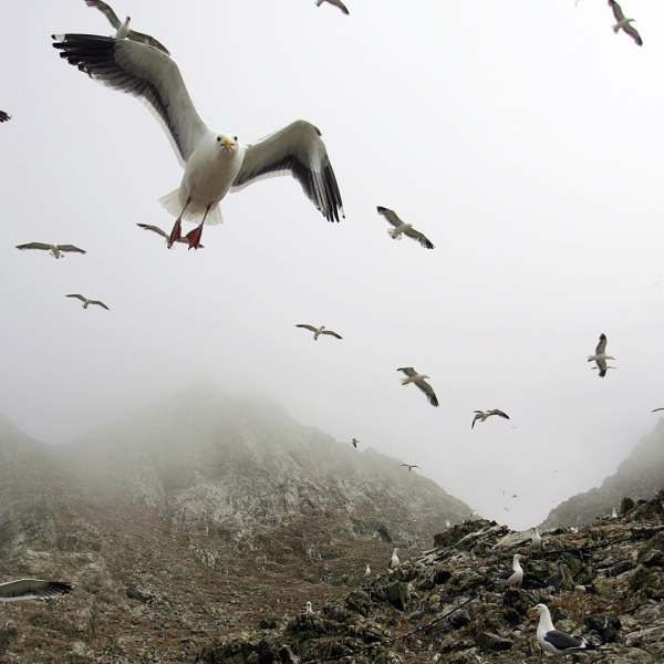 In this file photo from 2006, gulls hover over the rookery at the North Landing area of the Farallon Islands National Marine Sanctuary in California. (Credit: Ben Margot/AP)