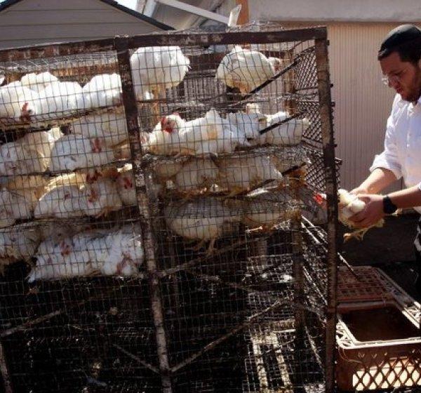 Chickens are prepared for a kapparot ritual in 2013 in the Pico-Robertson area. (Credit: Genaro Molina / Los Angeles Times)