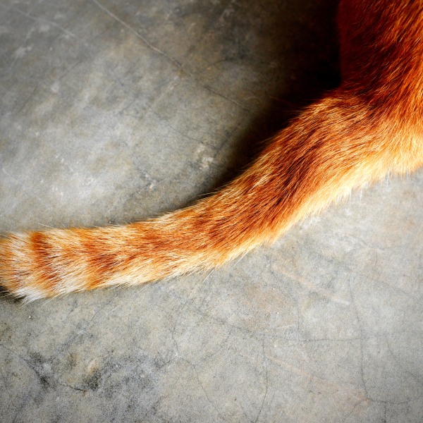 A cat's tail is seen in this photo illustration. (Credit: Getty Images)