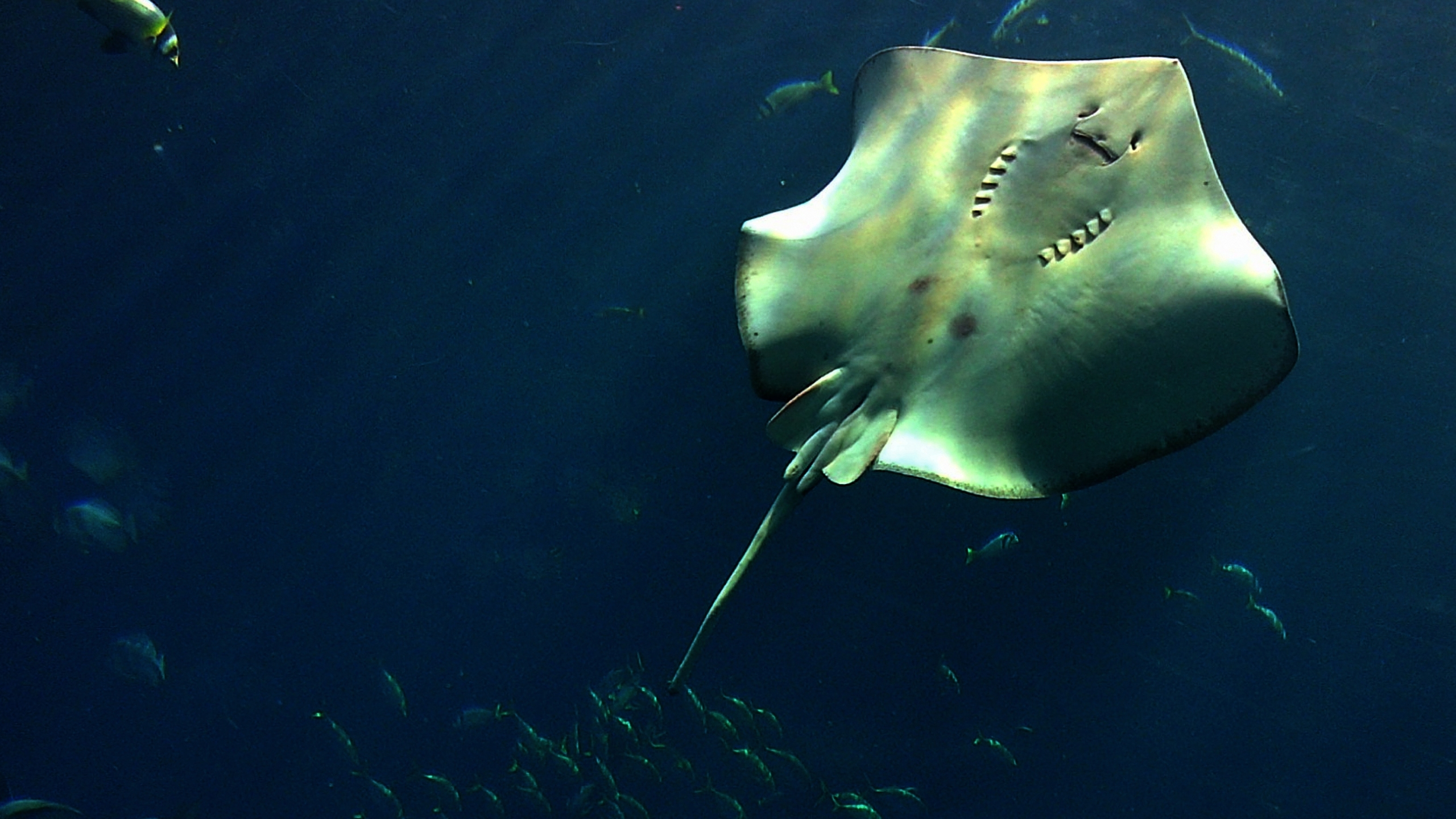A stingray swims in an aquarium in Dubai on Oct. 10, 2013. (Marwan Naamani/AFP/Getty Images)