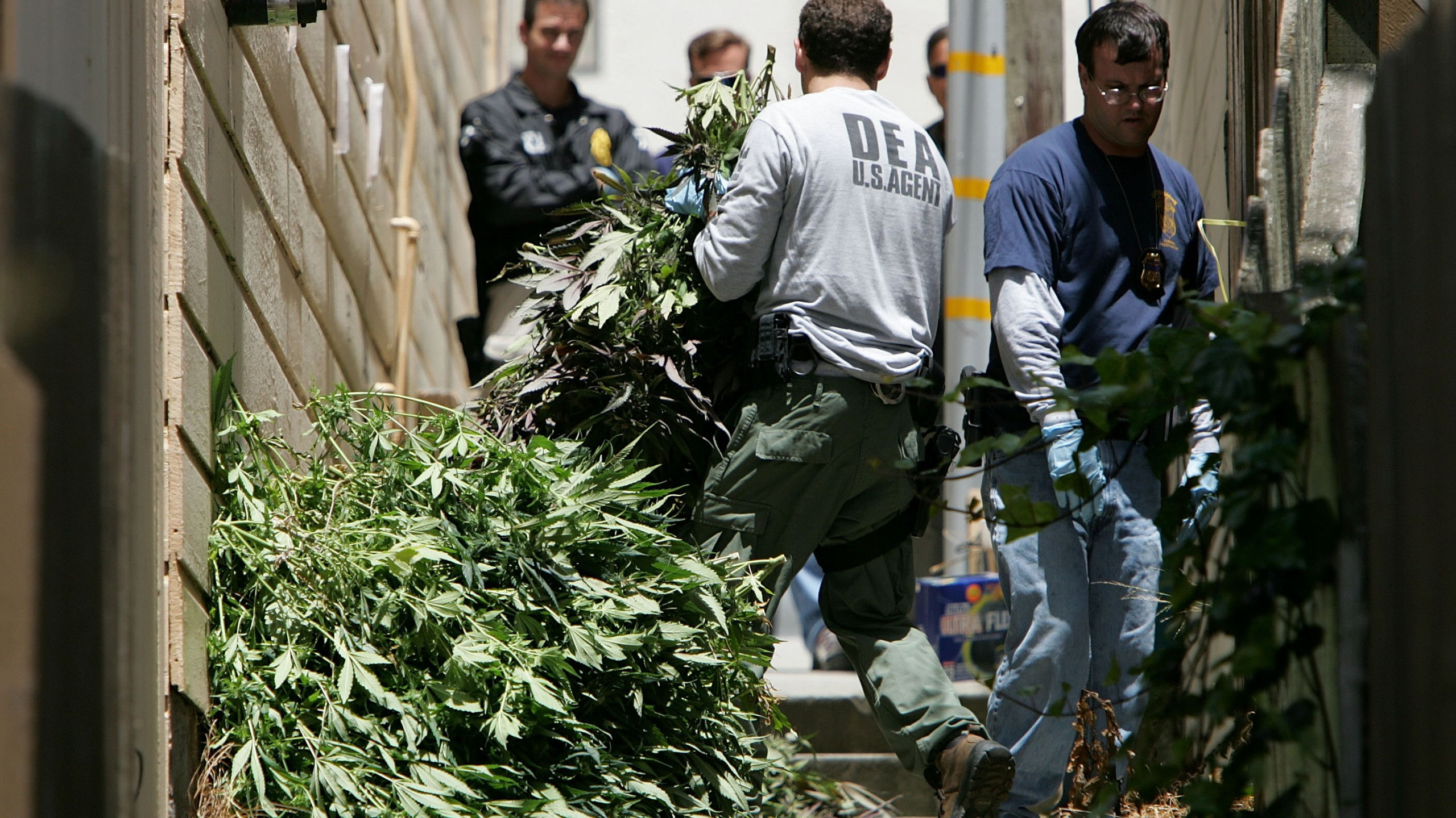 A U.S. Drug Enforcement Administration agent carries a pile of marijuana plants seized during a raid of a medical marijuana club June 22, 2005, in San Francisco. (Credit: Justin Sullivan/Getty Images)