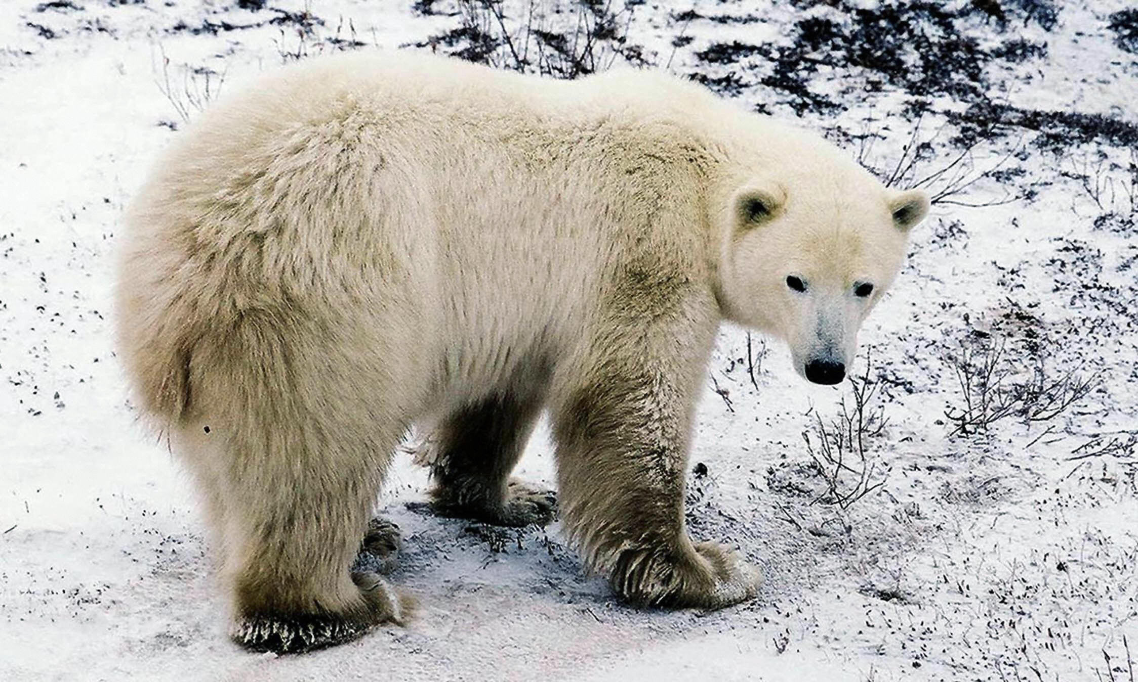 A polar bear is seen in a file photo. (Credit: GUY CLAVEL/AFP/Getty Images)