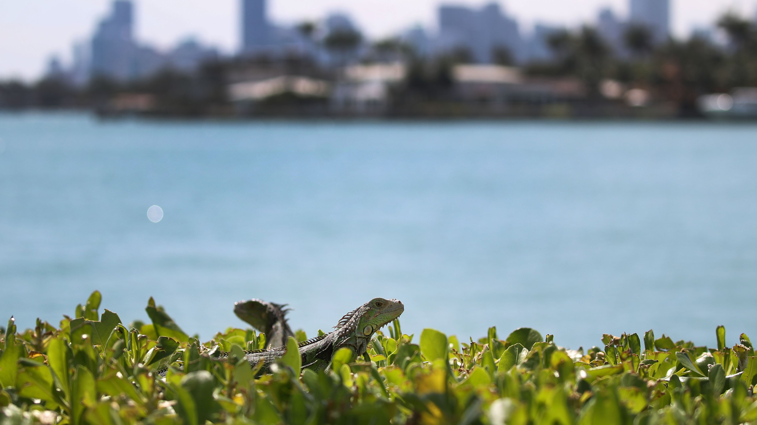 Commission continues its efforts to try and control the invasive species on March 13, 2018. (Credit: Joe Raedle/Getty Images)