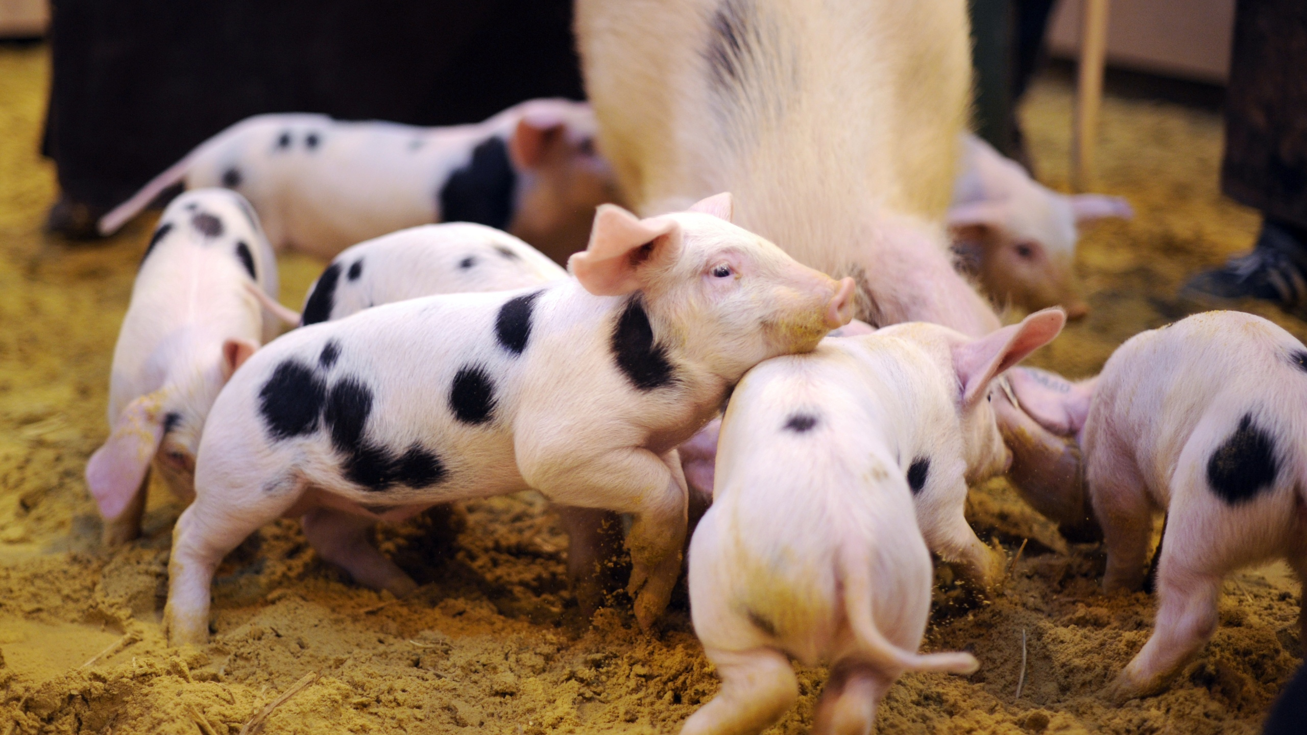 Piglets are see in a file photo. (Credit: LIONEL BONAVENTURE/AFP/Getty Images)