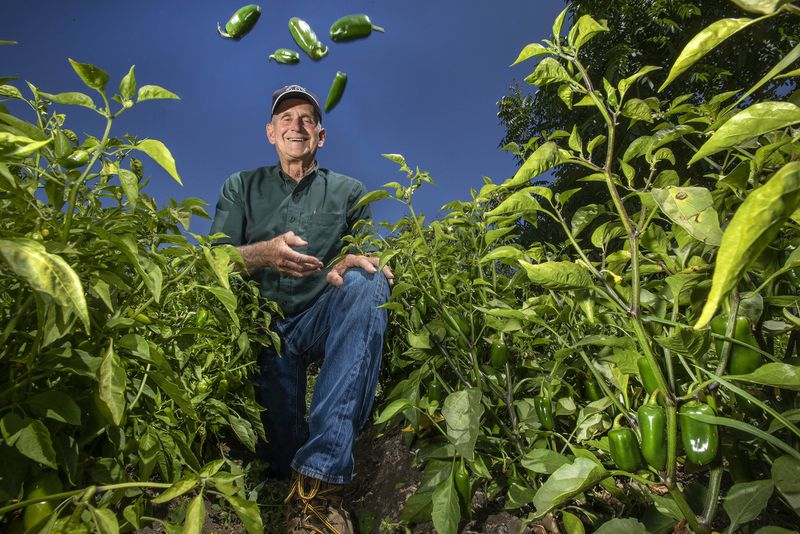 Craig Underwood of Underwood Ranches tosses jalapeño peppers into the air in a Ventura County field where they are grown. (Credit: Mel Melcon / Los Angeles Times)