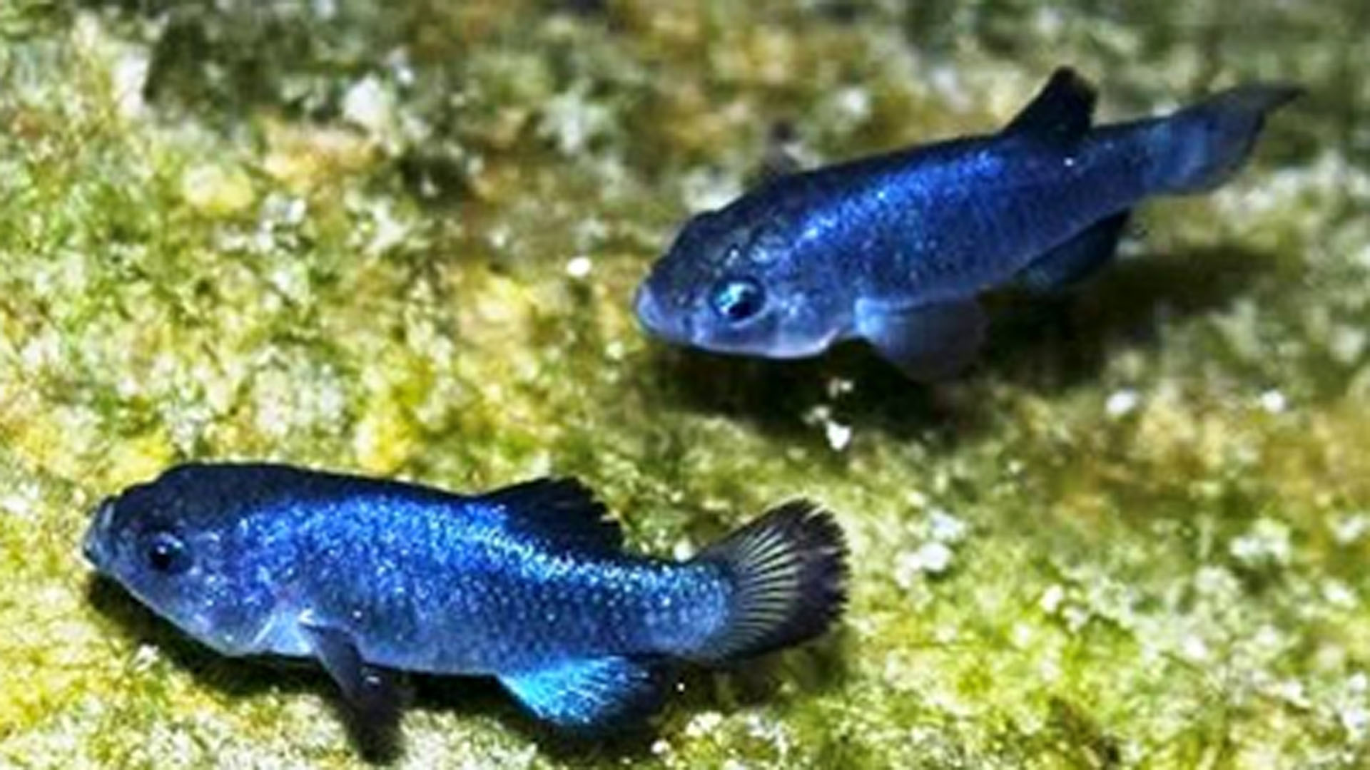 Devils Hole pupfish are seen in an undated photo provided by the United States Geological Survey.