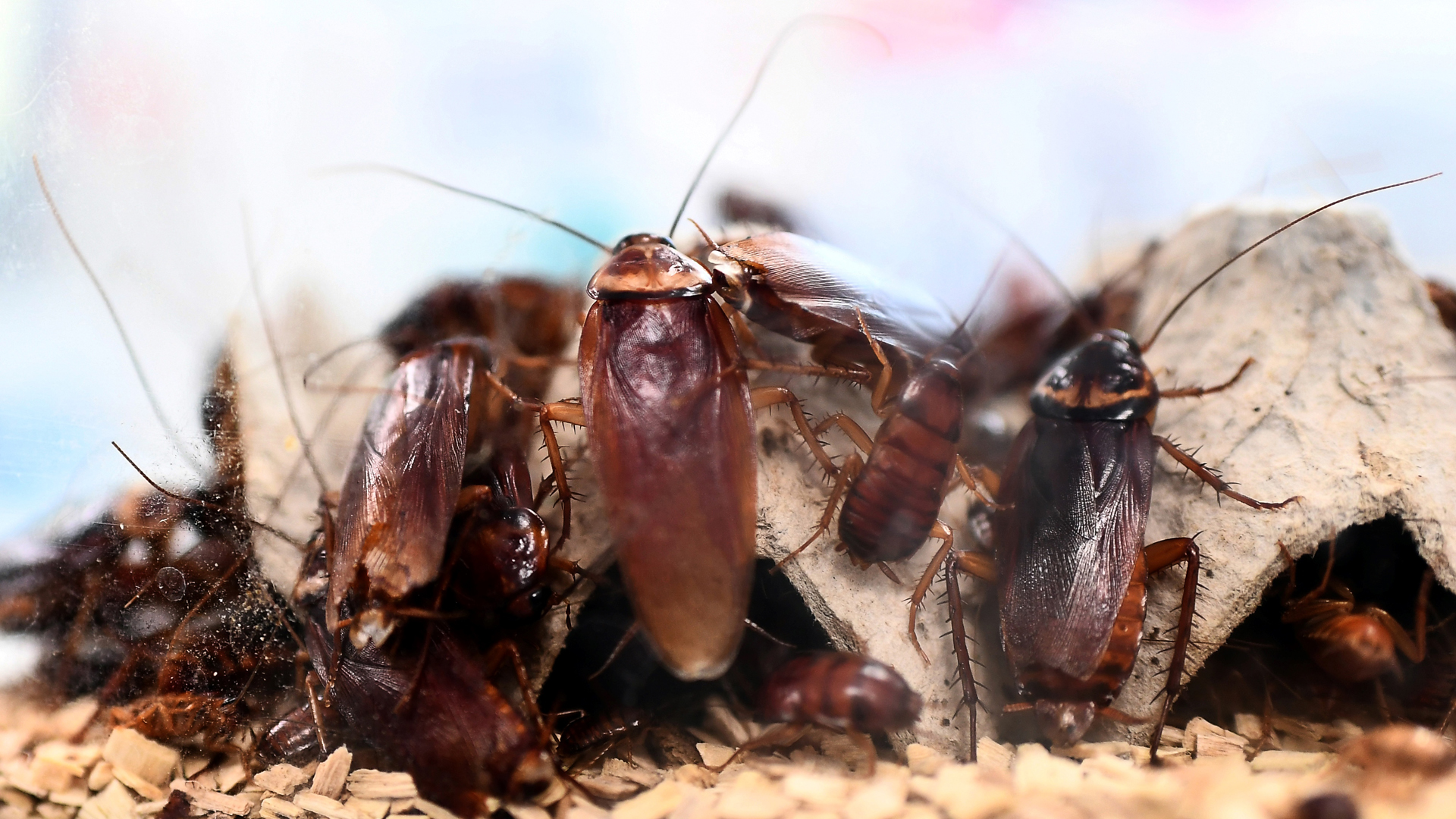 A picture taken on March 29, 2018 shows cockroaches locked in a container at the laboratory of the center of research on infectious diseases of the University Hospital Institute (IHU) Mediterranean Infection, in Marseille. France. (Credit: ANNE-CHRISTINE POUJOULAT/AFP/Getty Images)