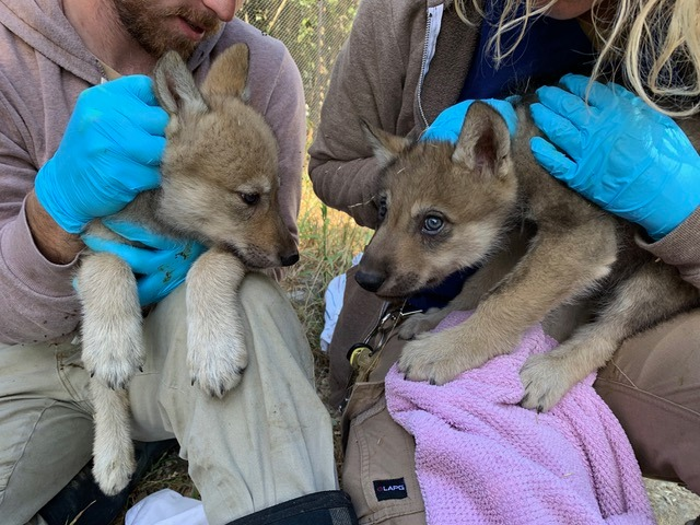 Staffers hold two wolf pups in a photo posted to Facebook by the Oakland Zoo on June 28, 2019.