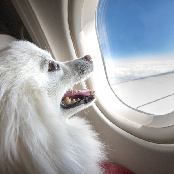 A file image of a dog on a flight. (Credit: Ryan Jello via iStock / Getty Images Plus)