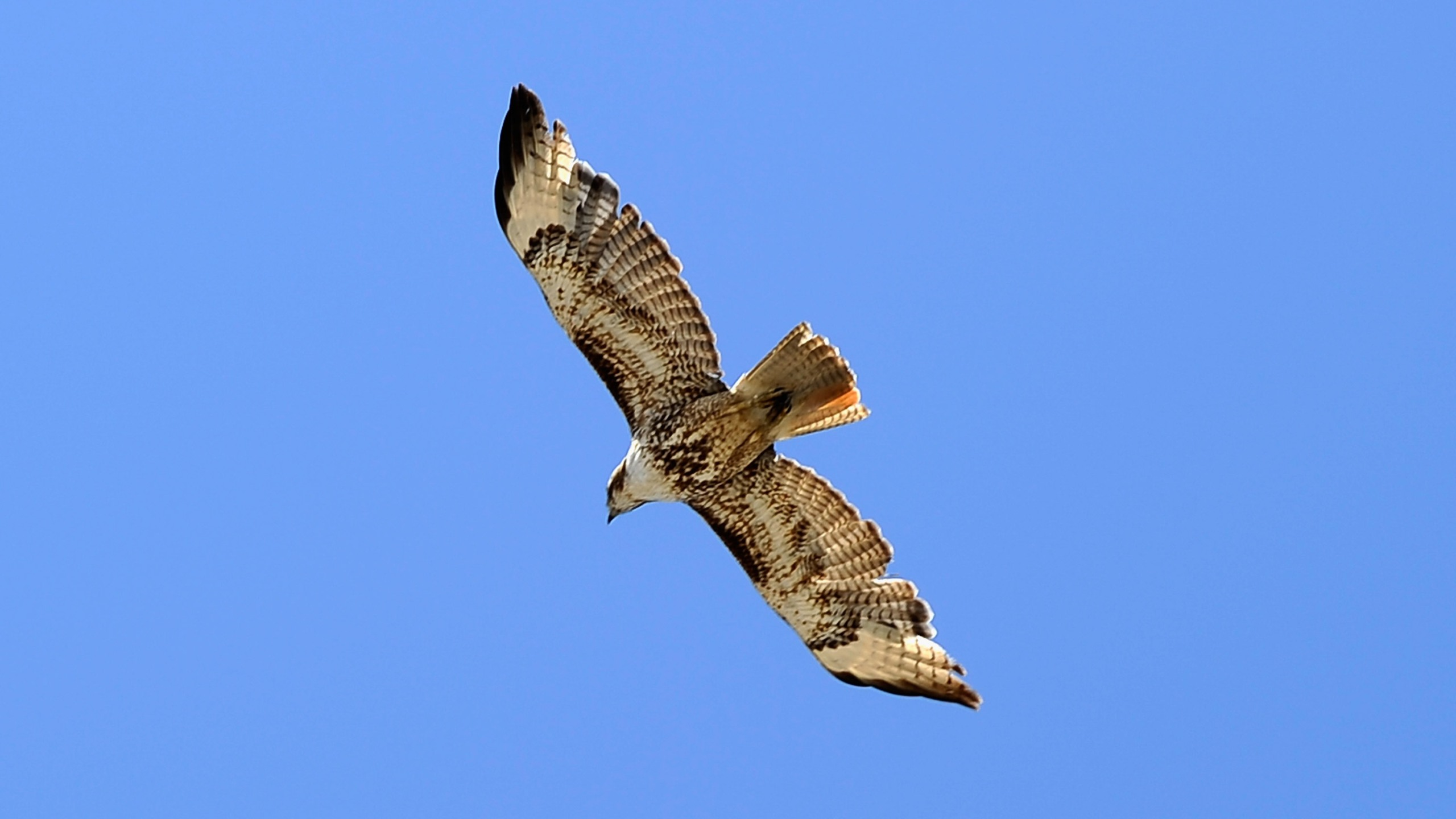 A file photo shows a red-tailed hawk in Long Beach, California on May 10, 2011. (Credit: Kevork Djansezian /Getty Images)