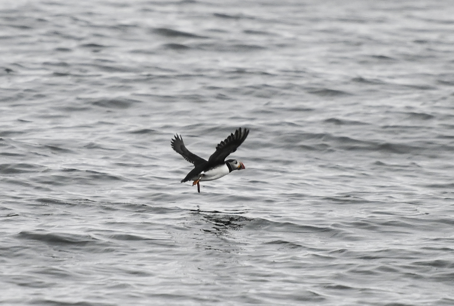 A Puffin flies near Eastern Egg Rock island, the world's first restored Atlantic Puffin colony, 6 miles east of 6 miles east of New Harbor, Maine on June 25, 2019. (Credit: ANDREW CABALLERO-REYNOLDS/AFP/Getty Images)