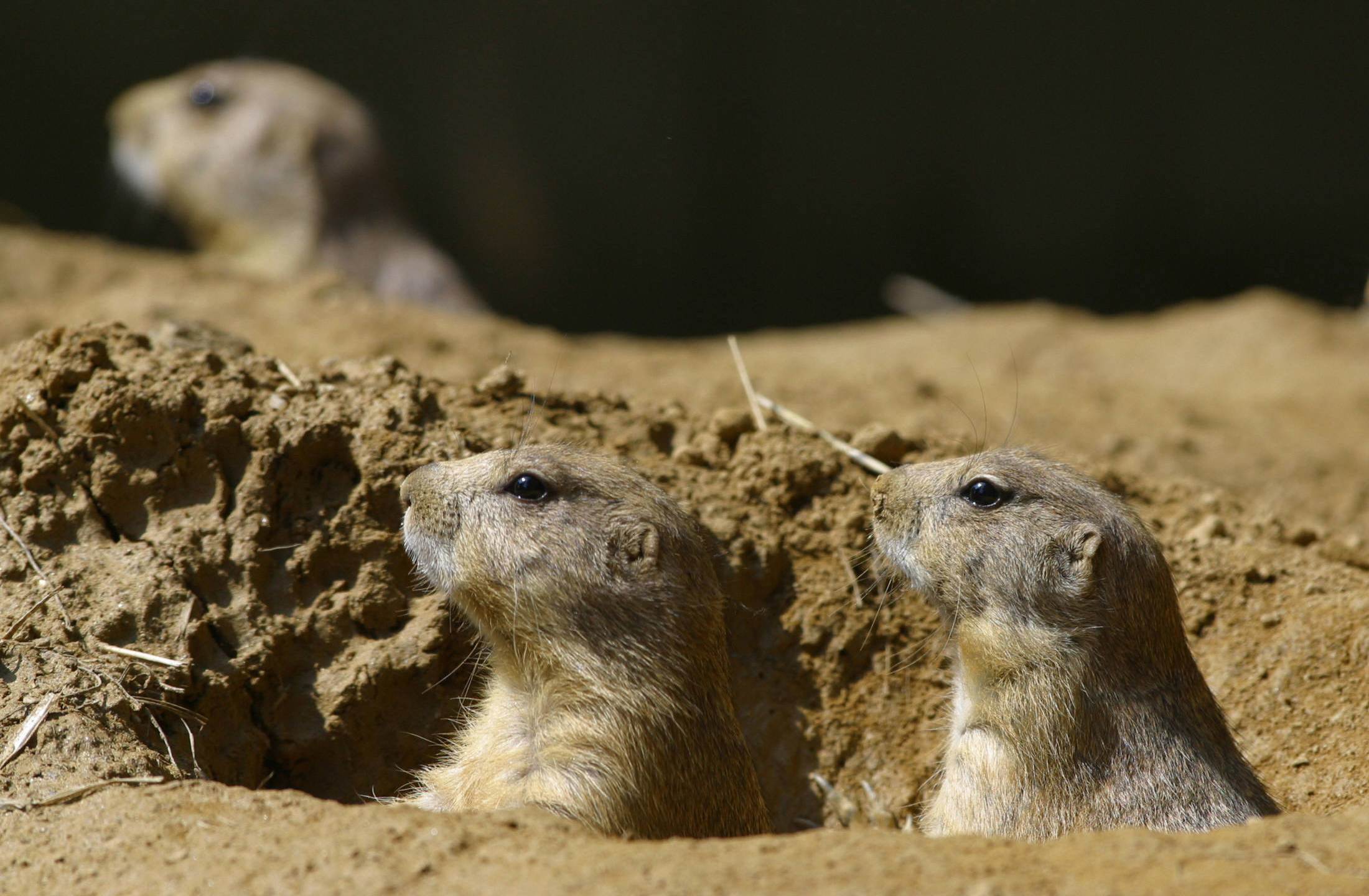 Black-tailed prairie dogs peer out from their burrow on July 28, 2002 at the National Zoo in Washington, D.C (Credit: ROBYN BECK/AFP/Getty Images)