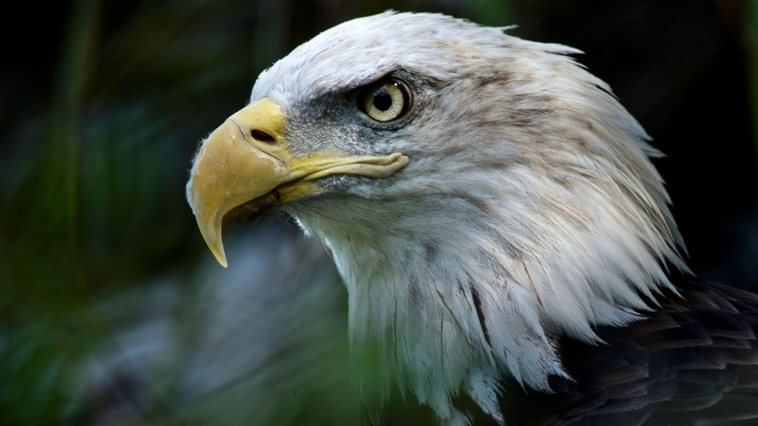 A bald eagle is seen along the American Trail at the Smithsonian National Zoo Aug. 11, 2016 in Washington, D.C. (Credit: BRENDAN SMIALOWSKI/AFP/Getty Images)