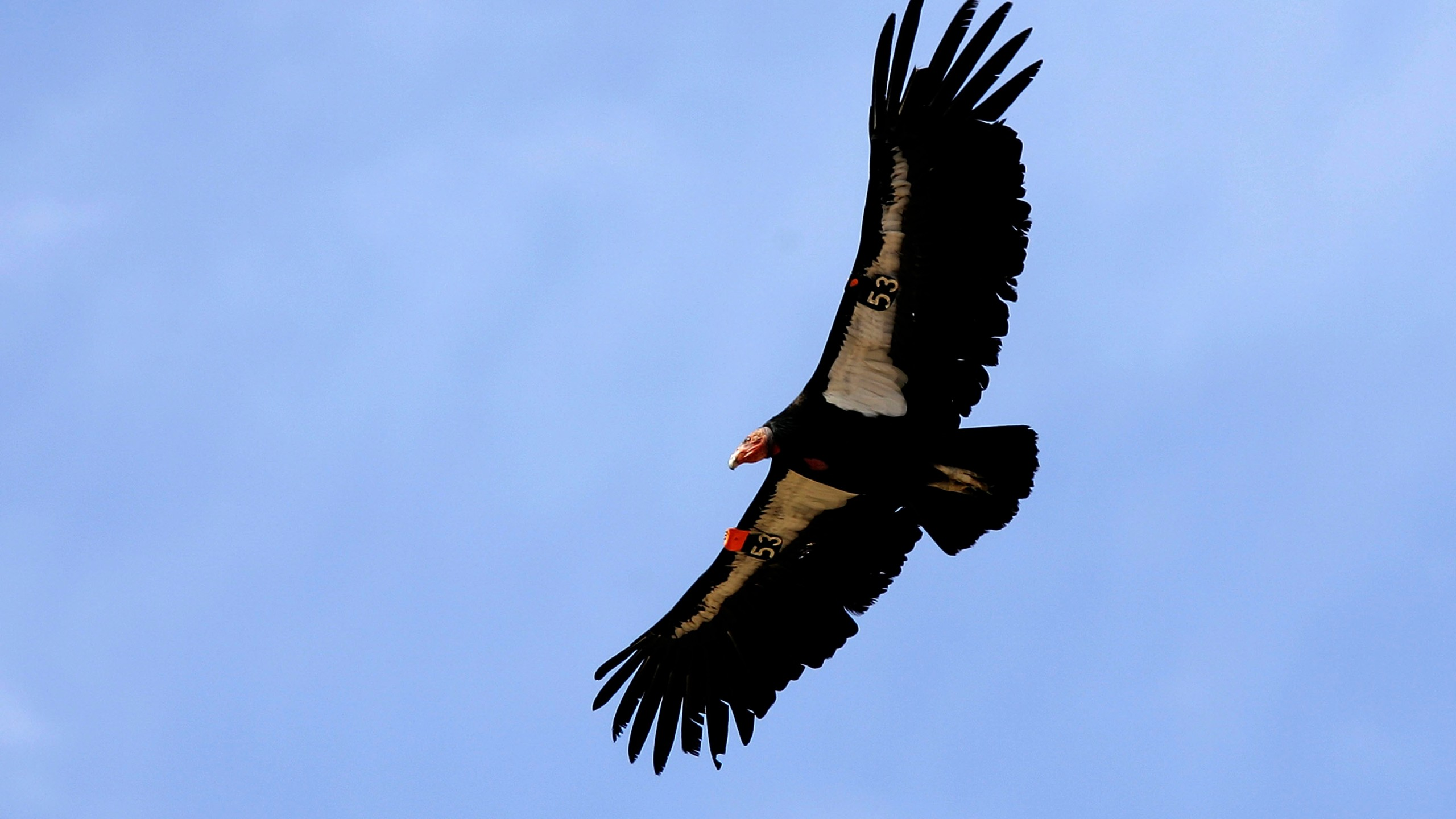 A rare and endangered California condor flies through Marble Gorge, east of Grand Canyon National Park, on March 22, 2007. (Credit: David McNew / Getty Images)