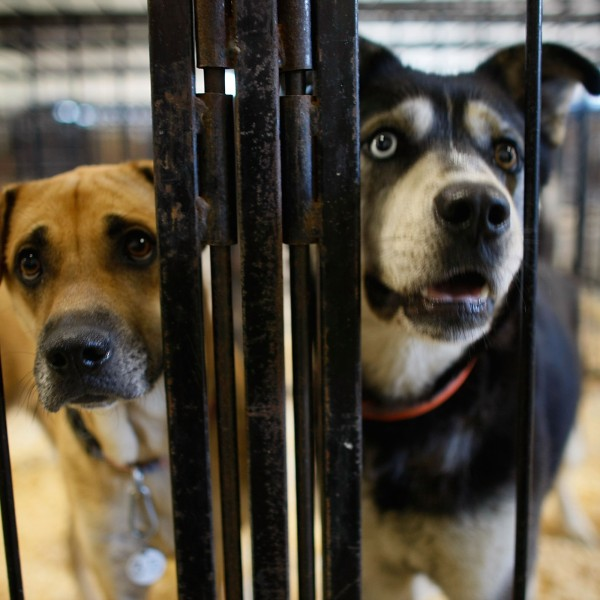 Dogs stand in a cage at an animal shelter in this file photo. (Credit: Joe Raedle/Getty Images)