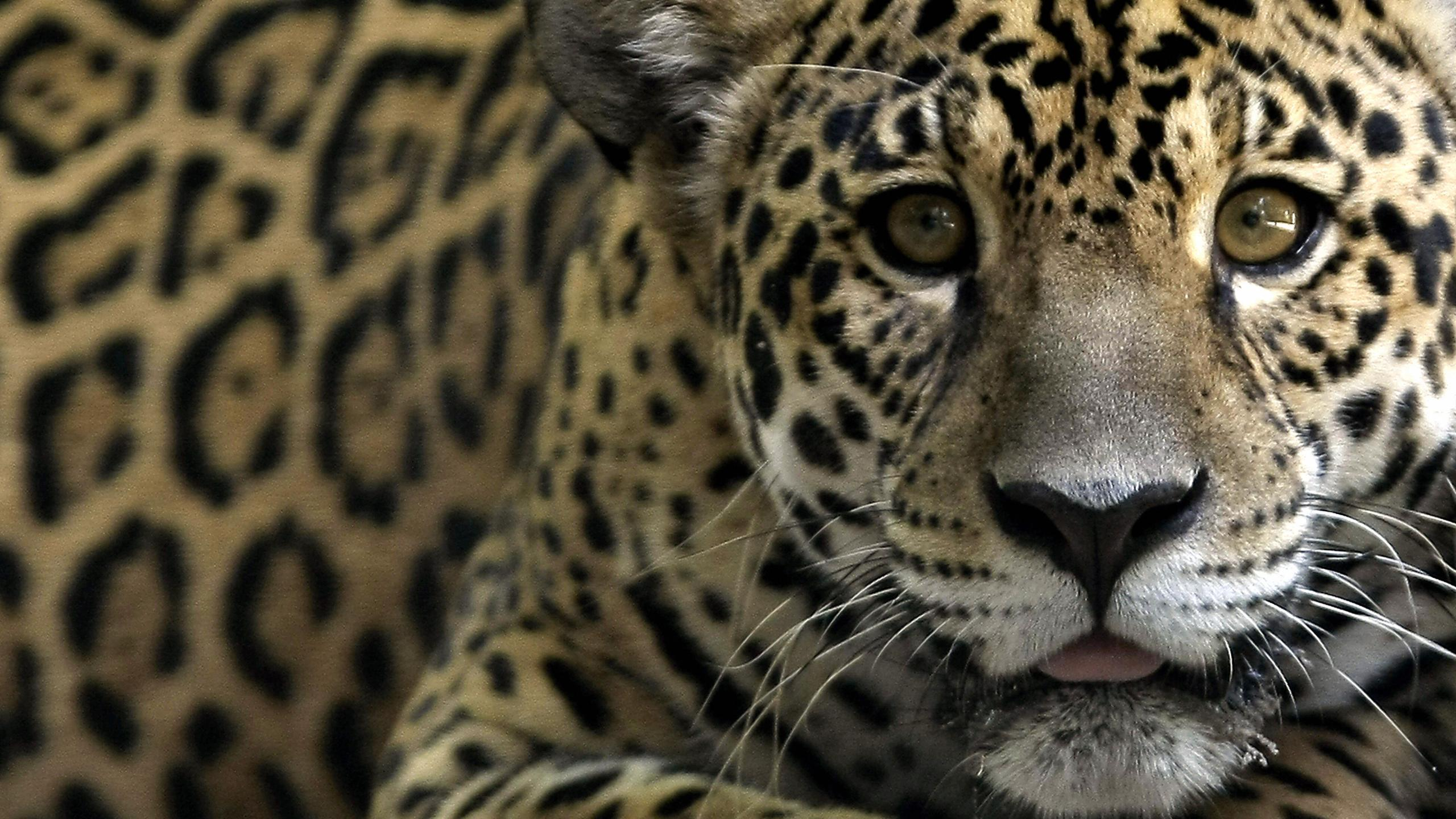 A jaguar, one of the endangered native species of Amazonian fauna, lounges at a Brazilian natural reserve on Oct. 2, 2008. (Credit: Mauricio Lima/AFP/Getty Images)