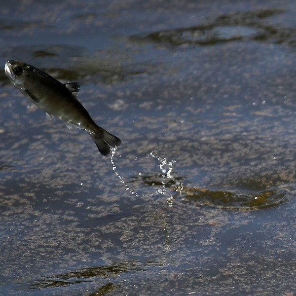 A young fingerling Chinook salmon leaps out of the water after being released into a holding pen at Pillar Point Harbor on May 16, 2018 in Half Moon Bay. (Credit: Justin Sullivan/Getty Images)