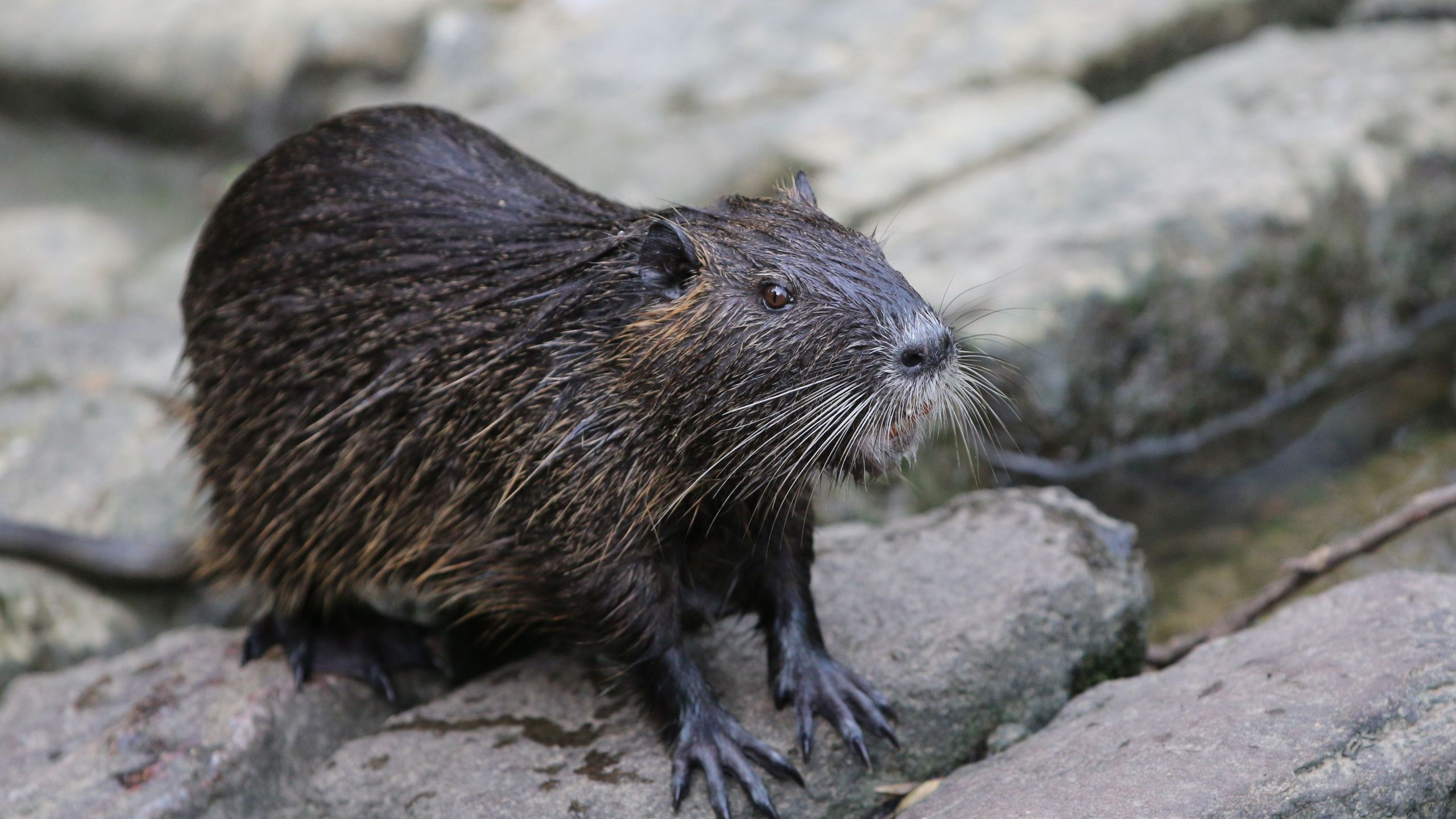 A nutria is pictured in a park in Frankfurt, western Germany, on June 9, 2018. (Credit: Yann Schreiber/AFP/Getty Images)